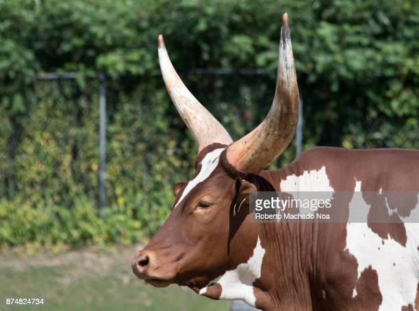 AnkoleWatusi Cattle close up of a brown and white animal with long horns