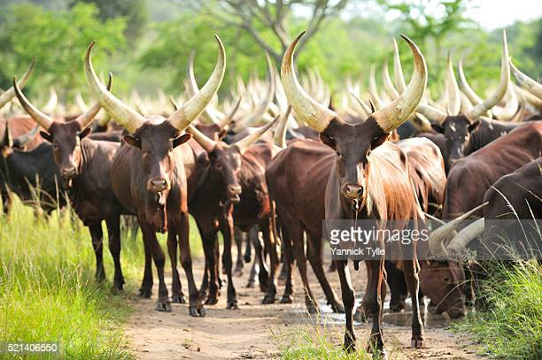 Ankole-Watusi cattle in south Uganda