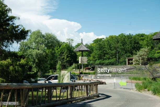 AnkoleWatusi cattle stand past a road during the Toronto Zoo Scenic Safari in Toronto Ontario Canada on Friday June 19 2020 As Ontario's Covid19...