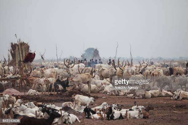 AnkoleWatusi cattles are seen in Terekeka town of Juba South Sudan on February 9 2017 Munda people a small ethnic group of South Sudan provide their...