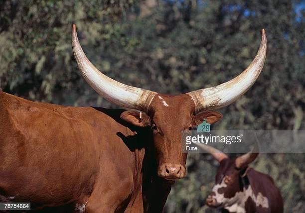 Ankole-Watusi Cow