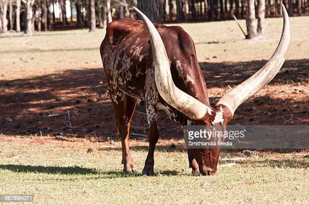 Ankole-Watusi grazing