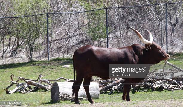 TORONTO ON MAY 22 Ankolewatusi in the African Savannah zone The Toronto Zoo is adapting to physical distancing by introducing a Scenic Safari where...