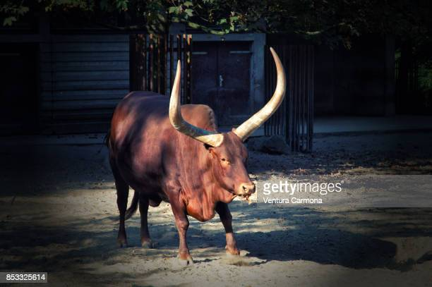 ankole-watusi - texas longhorn cattle stock photos and pictures