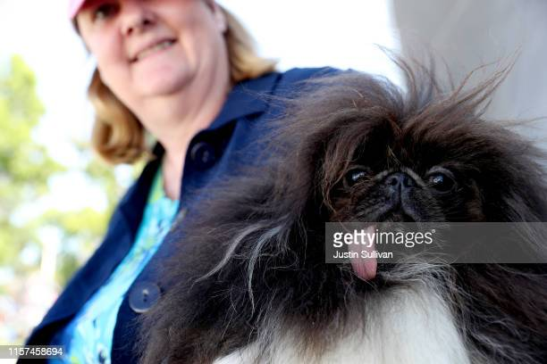 Ann Lewis holds her dog Wild Thang before the start of the World's Ugliest Dog contest at the MarinSonoma County Fair on June 21 2019 in Petaluma...