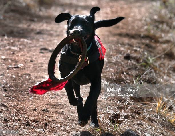 Ann Wichmann has six black labs that have trained or will be trained as search and rescue dogs Wichmann is a member of the Front Range Search and...