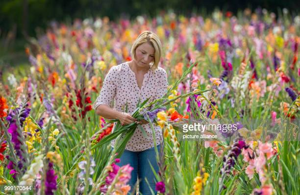 Anna Bankiel standing with a freshly cut bundle of gladiolas in her flower field in Kriftel Germany 15 August 2017 Bankiel and her partner run a...