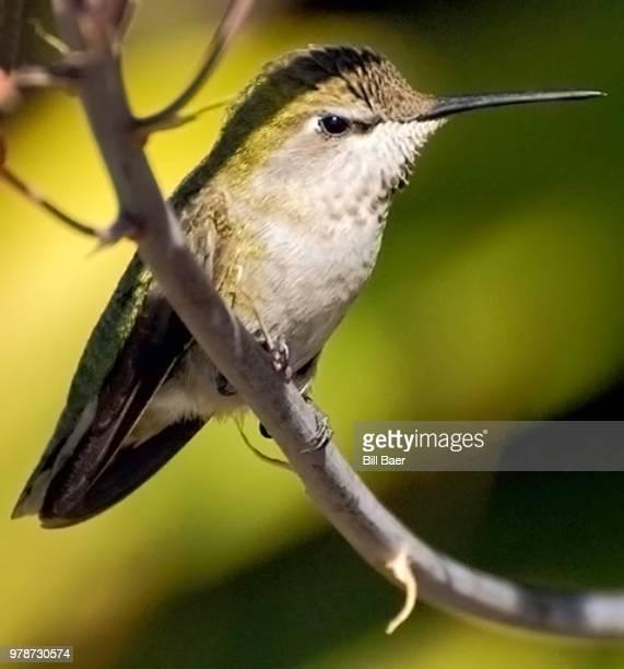 Anna's Humming Bird