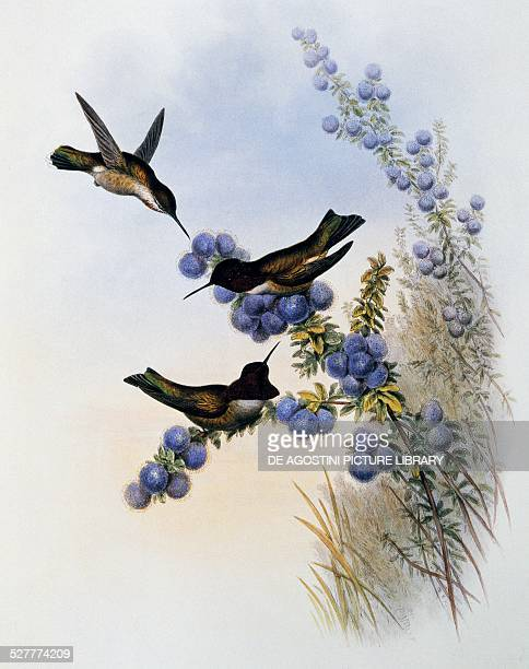 Anna's Hummingbird , engraving from A Monograph of the Trochilidae or Humming Birds , by John Gould . United Kingdom, 19th century.