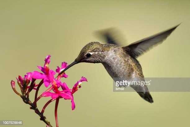 anna's hummingbird feeding - beija flor imagens e fotografias de stock