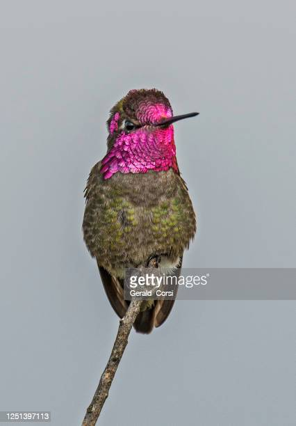 anna's hummingbird (calypte anna) is a medium-sized hummingbird native to the west coast of north america. - petaluma stock pictures, royalty-free photos & images
