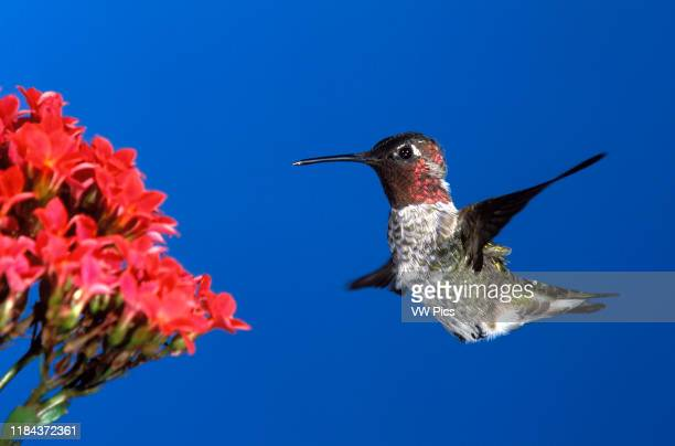 Anna's Hummingbird, male, approaching Kalanchoa flowers Calypte anna Photographed in Southern California, USA