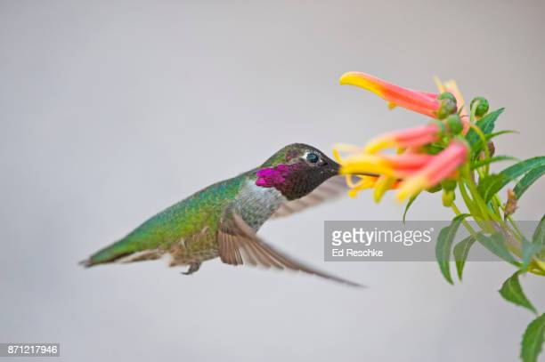 anna's hummingbird (calypte anna) male feeding on mexican cardinal flower - ed reschke photography stock photos and pictures