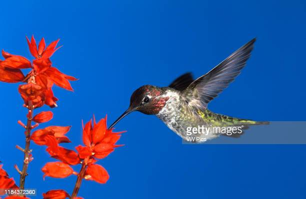 Anna's Hummingbird, male, feeding on Salvia Calypte anna Photographed in Southern California, USA