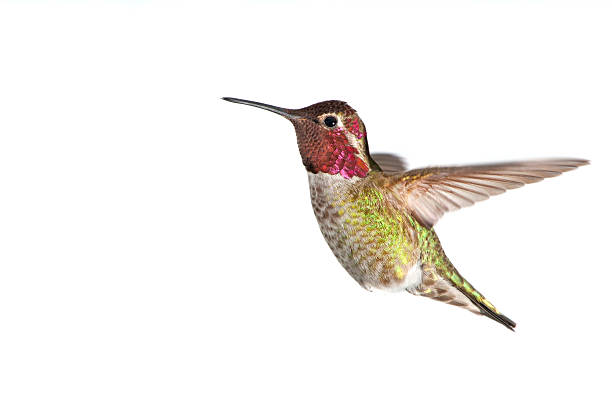 """Annas Hummingbird - Male, White Background XL"""