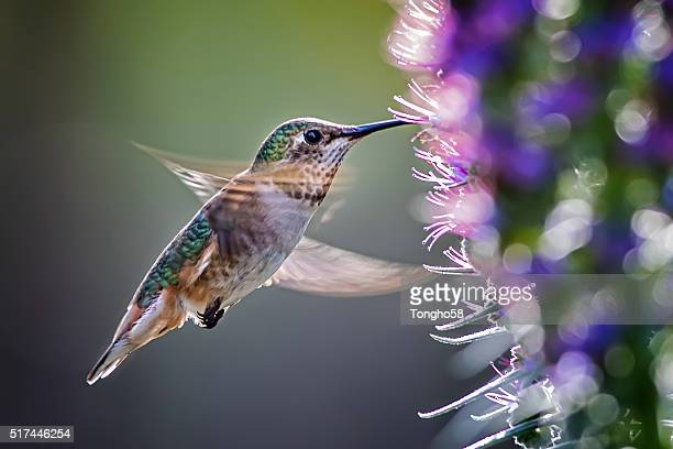 anna's hummingbird over pride of madeira flowers - hummingbird stock pictures, royalty-free photos & images