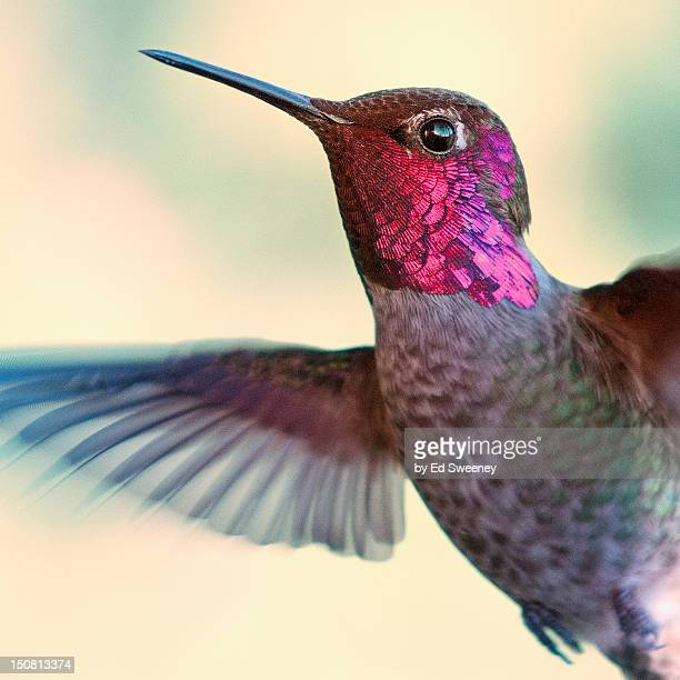 anna's hummingbird - bill sweeney stock photos and pictures