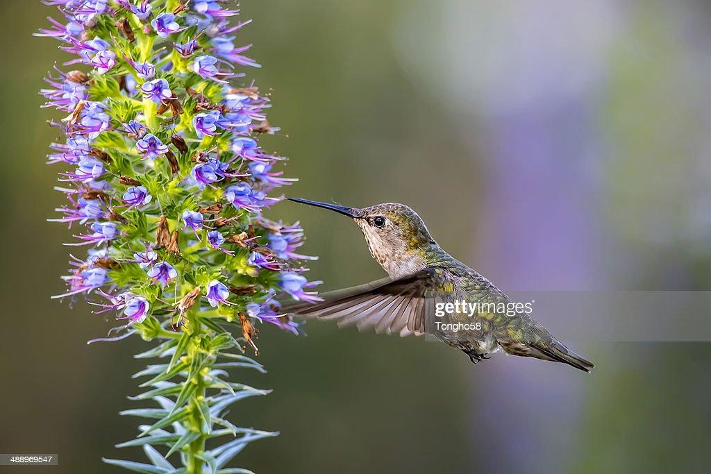 Anna's Hummingbird : Stock Photo