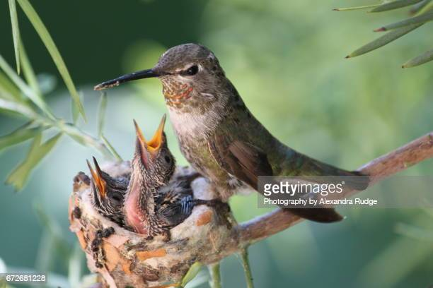anna's hummingbird - animal nest stock pictures, royalty-free photos & images