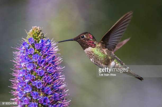 anna's hummingbird - beija flor imagens e fotografias de stock