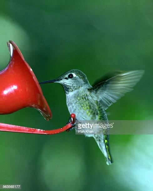 "Anna's hummingbird"" visits a bird feeder placed in the balcony of Benita Sanserino's condo in Encinitas. Sanserino has flowering plants, a water..."