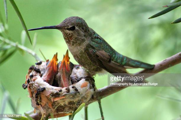anna's hummingbird with chicks. - anna's hummingbird stock pictures, royalty-free photos & images