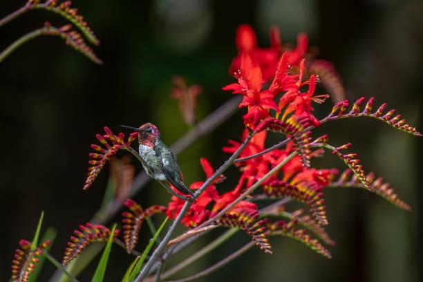 Anna's Hummingbird with Lucifer flowers