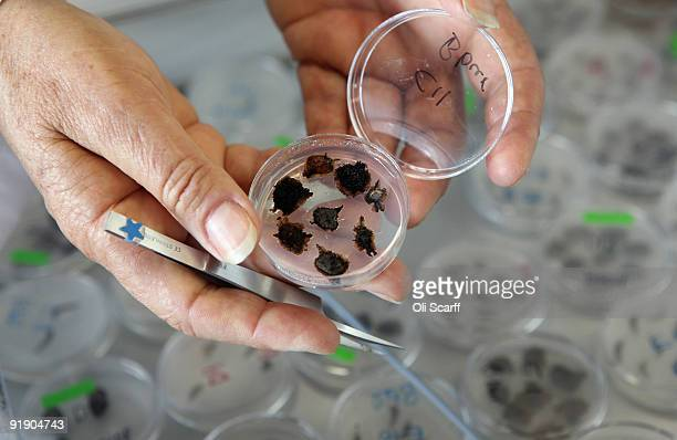 Anne Cochrane a Senior Research Scientist examines her germinating seeds in petridishes in the germination area of Kew's Millennium Seed Bank which...