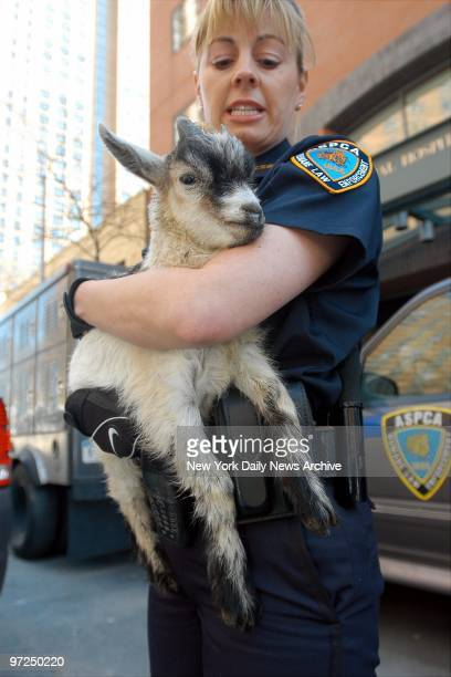 Annemarie Lucas an ASPCA special investigator carries one of the goats rescued from a Bushwick Brooklyn building to the ASPCA facility on E 92nd St