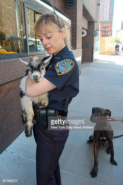 Annemarie Lucas an ASPCA special investigator carries one of the goats rescued from a Bushwick Brooklyn building to the ASPCA facility on E 92nd St...