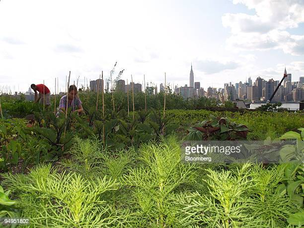 Annie Novak and a volunteer tend crops in Brooklyn New York US on July 14 2009 It took a crane to hoist 100 tons of soil onto the roof