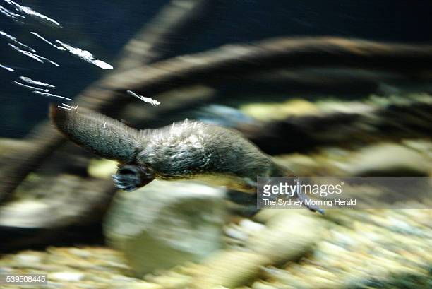 Annie the platypus who was involved in the early stages of the platypus breeding programme at Taronga Park Zoo in Sydney on 4 January 2005 SMH NEWS...