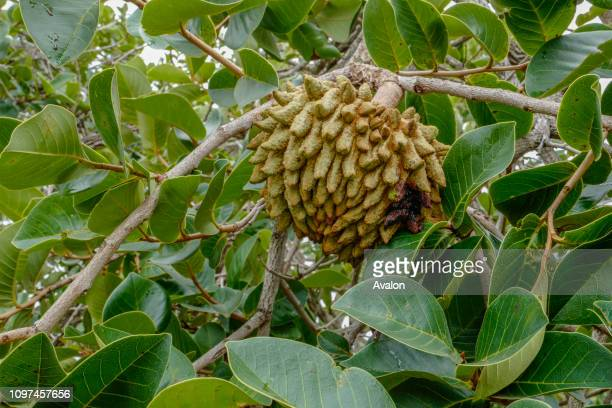 Annona crassiflora commonly known as marolo araticum corti�a araticum do cerrado or bruto is a flowering plant in the Annonaceae family The flowers...