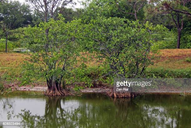 Annona Glabra - Pond apple, alligator apple, swamp apple