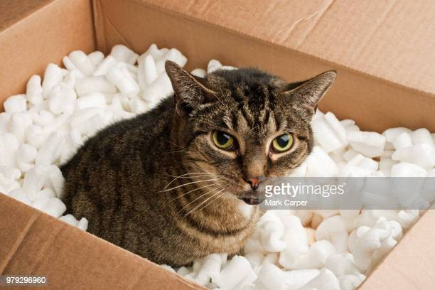 annoyed cat packing peanuts - ugly cat stock photos and pictures