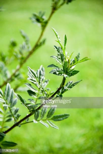 annual ragweed - ambrosia stock-fotos und bilder