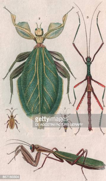 1 Mantid 2 Leaf insect 3 Stick insect 4 Blatta laponica 5 Forficula parallela colour copper engraving retouched in watercolour 9x15 cm from...