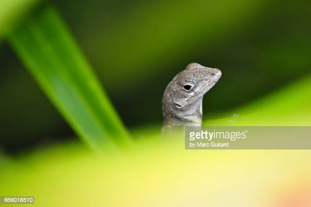 anole lizard among plants, harbour island, eleuthera, bahamas - anole lizard stock pictures, royalty-free photos & images
