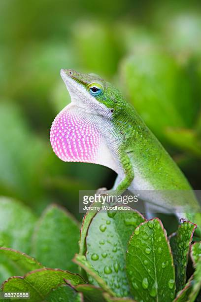anole lizard displaying - anole lizard stock pictures, royalty-free photos & images