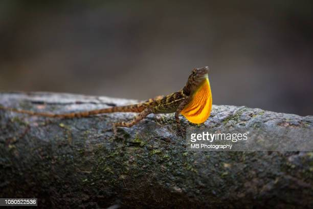 anole lizard - anole lizard stock pictures, royalty-free photos & images