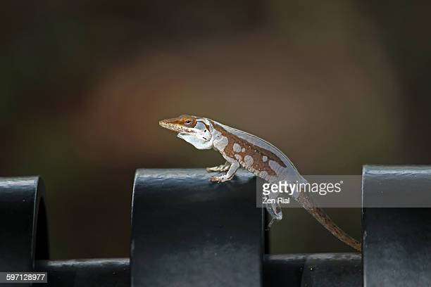 anole shedding skin anolis sangrei - anole lizard stock pictures, royalty-free photos & images