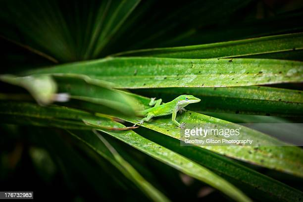 anolis carolinensis - anole lizard stock pictures, royalty-free photos & images