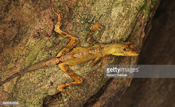 anolis chrysolepis - anole lizard stock pictures, royalty-free photos & images