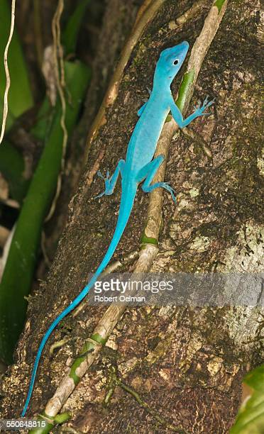 anolis gorgonae, family polychrotidae - anole lizard stock pictures, royalty-free photos & images