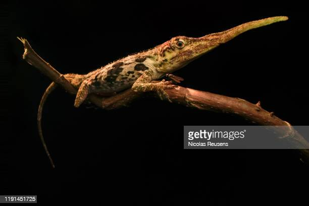 anolis proboscis - anole lizard stock pictures, royalty-free photos & images