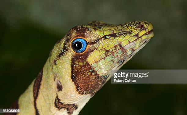 anolis (dactyloa) transversalis - anole lizard stock pictures, royalty-free photos & images