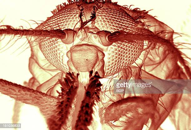 Anopheles Gambiae Anterior View Colorized Sem X 114 Are Clearly Visible The Compound Eyes Constituted Of Ommatidia The Antennas The Proboscis And The...