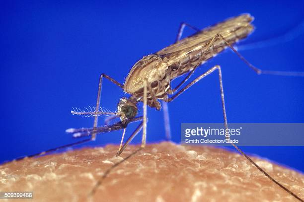 Anopheles gambiae mosquito feeding, Anopheles gambiae mosquito. A malaria and Zika Virus vector. Parasite. Image courtesy CDC/James Gathany, 1994. .