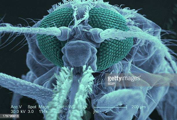 Anopheles Gambiae, Sem, Sharp Structures Known As Stylets, Which Pierce The Skin Of Its Hosts, And Together Are Known As The Fascicle, Together The...