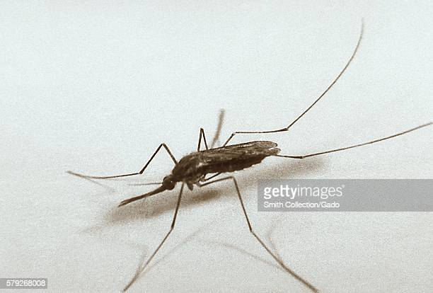 Anopheles quadrimaculatus mosquito 1962 The Anopheles quadrimaculatus mosquito was the most important vector of malaria in eastern United States and...
